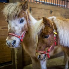 Green Chimneys Farm & Wildlife Center includes miniature horses