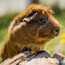 Green Chimneys guinea pig