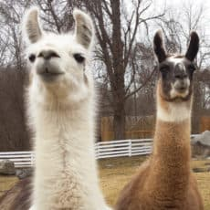 Help keep llamas healthy an happy