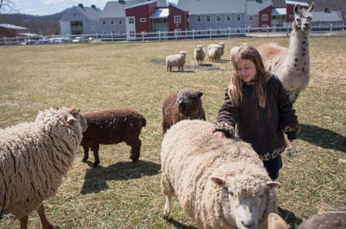 Young girl playing with sheep on the farm