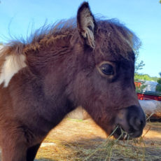 Profle image of Cricket, a miniature horse foal