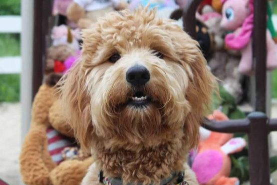 Image of a Goldendoodle dog that spends time with Green Chimneys School students