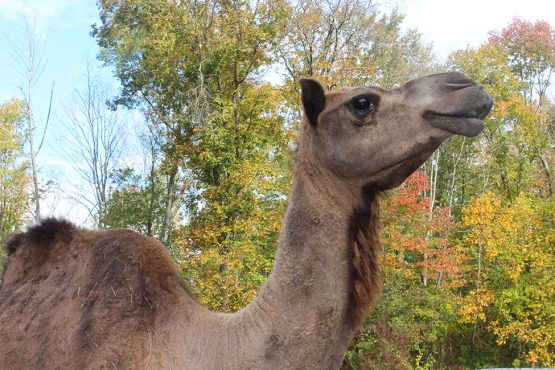 Image of our newest resident: a dromedary camel named Bunni in profile with fall foliage in the background.